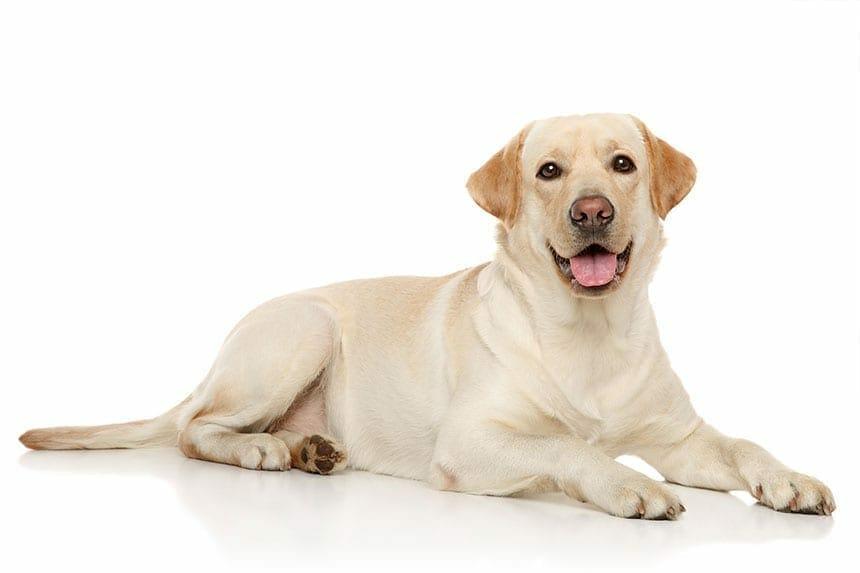 Most Popular Family Dog Breeds